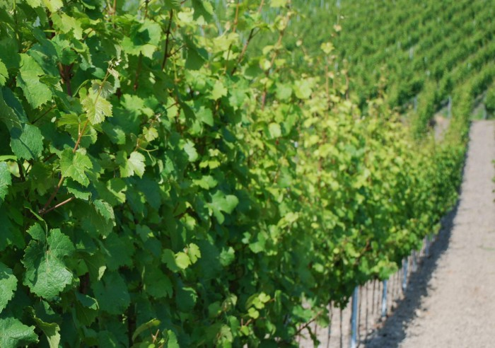 Neuanlage Matheisbildchen Weingut Roussel Bernkastel-Kues Mosel